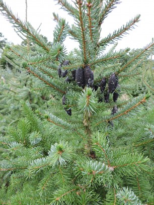 Serbian Spruce foliage detail with cones