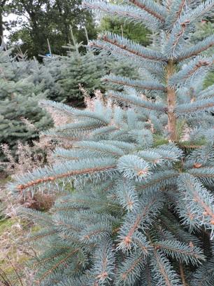 Blue Spruce foliage detail