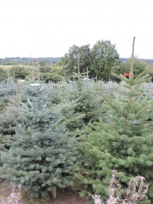 Blue Spruce plantation
