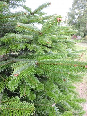 Nordman foliage detail