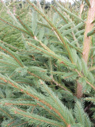 Norway Spruce foliage detail