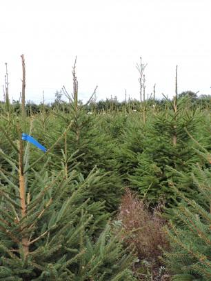Norway Spruce plantation II